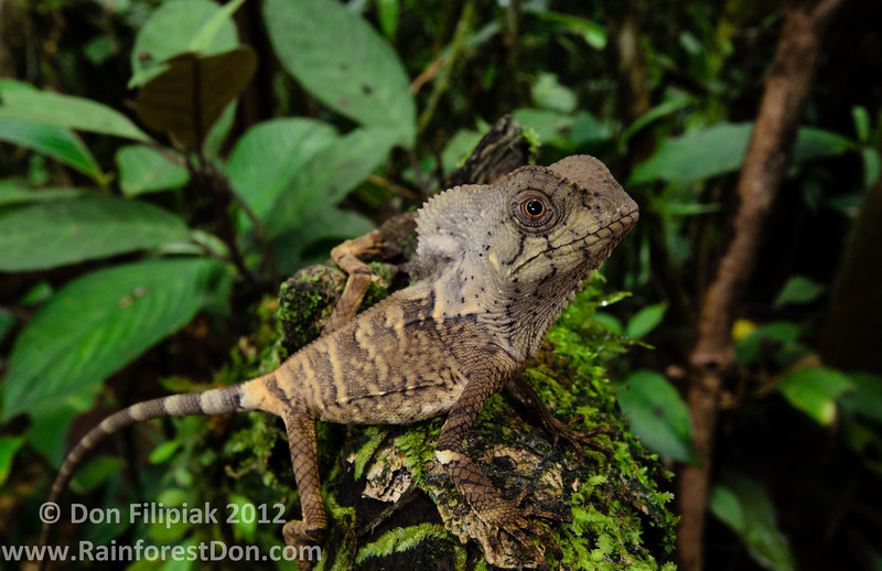 This is a juvenile Helmeted Iguana (<i>Corytophanes cristatus</i>) from the premontane slopes of the Rara Avis Rainforest Reserve in Costa Rica. This species utilizes an extreme sit-and-wait hunting technique.  It was shot at 24mm