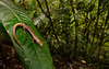 Ridge-headed Salamander, <i>Bolitoglossa colonnea</i>
