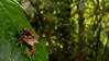 This Rufous-eyed Stream Frog (<i>Duellmanohyla rufioculis</i>) was shot at 24mm on a 1.5 crop sensor.
