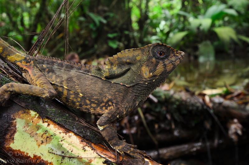 Casque-headed Lizard (<i>Corytophanes cristatus</i>)