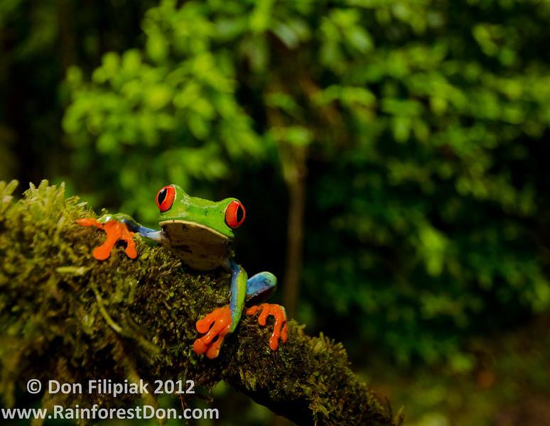 Red-eyed treefrog (<i>Agalychnis callidryas</i>) Rara Avis Rainforest Reserve, Costa Rica