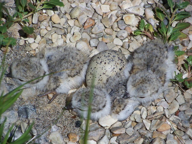 Three piping plover chicks