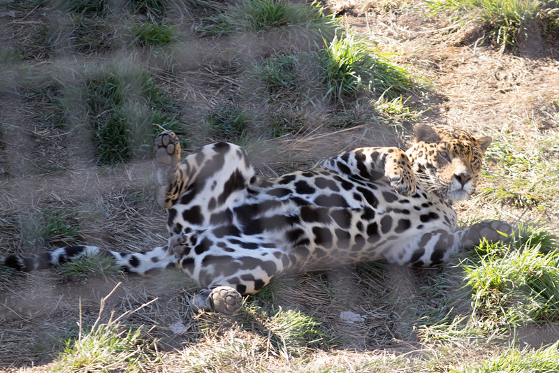 Here is one of the new leopards from Mexico. I would say he is making himself at home