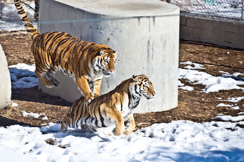 """Had a great time today at the wild animal sanctuary. Check out these tigers """"playing"""". Hate to get in the middle of this."""