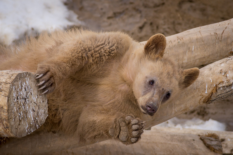 No one told these cubs that bears are suppose to hibernate in the winter.