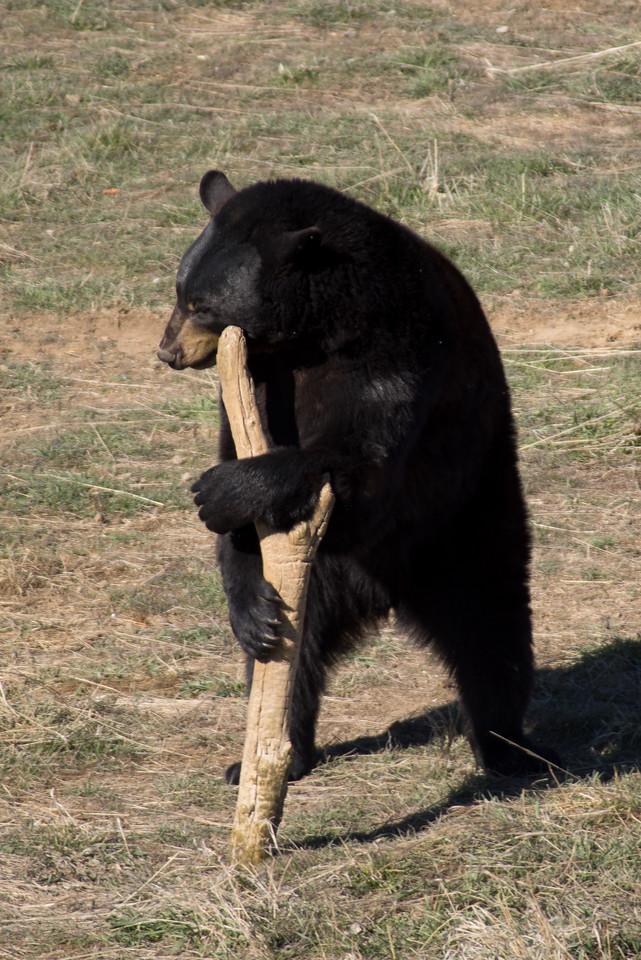 This blackbear LOVES his stick. They say he plays with it all summer and then finds it right when he comes out of hibernations.