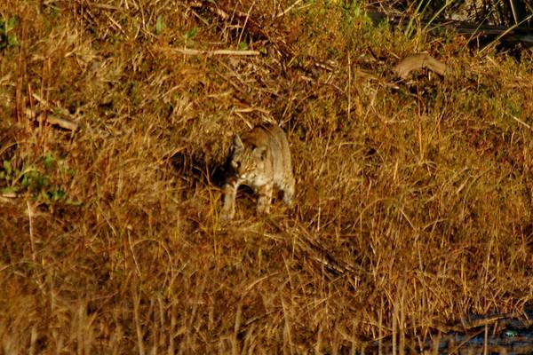 Bobcat at Rodeo Lagoon 01-19-11