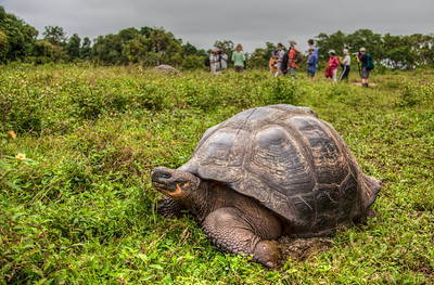 The Galapagos Giant Tortoise - World largest Tortoise and longest living vertebrate.