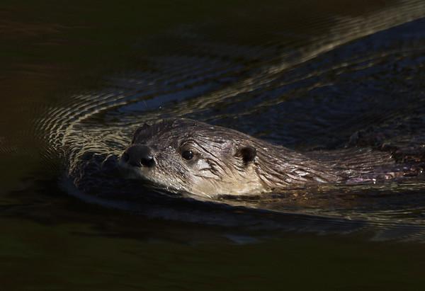 Otter at Sutro Baths