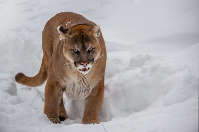 Cougar a.k.a. Snow Lion
