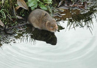 Ratty wary