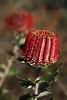 Banksia coccinea - scarlet banksia, Fitzgerald River National Park