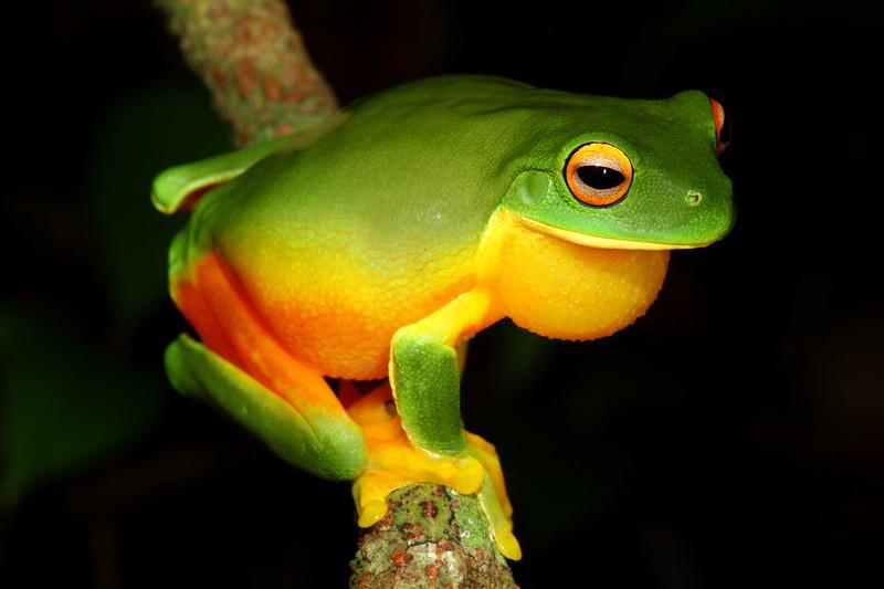Orange-thighed tree frog, Paluma NP, Qld