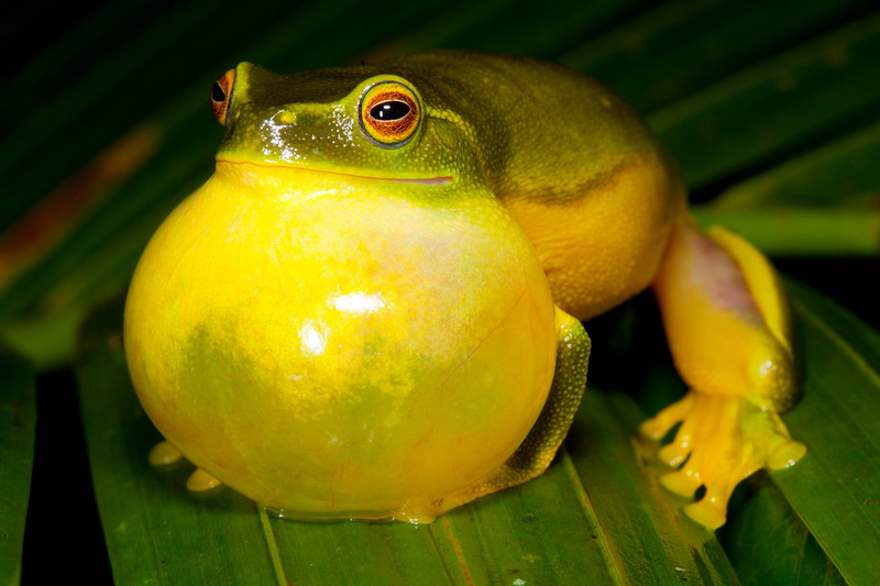 Dainty tree frog performing in the rain, Cedar Bay NP, Cape York