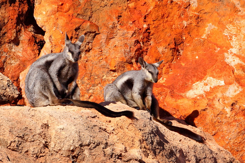 Black-flanked rock wallabies, endangered - Cape Range
