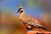 Spinifex Pigeon, Macdonnell Ranges