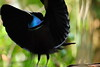 Magnificent riflebird, Iron Range, Cape York