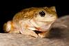 Peron's tree frog, Hattah Lakes NP, NSW