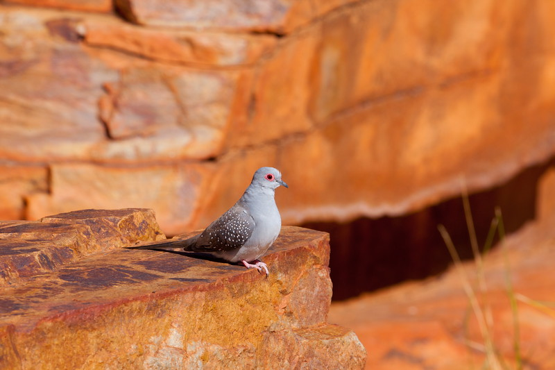 Diamond dove his finery, Macdonnell Ranges
