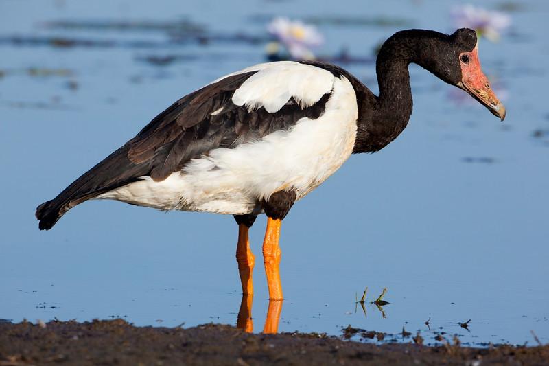 Magpie goose, Parry's Lagoon