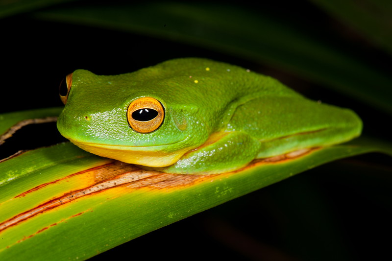 Dainty tree frog, Iron Range, Cape York