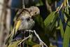 Juvenile rufus-throated honeyeater, Duncan Rd Kimberley