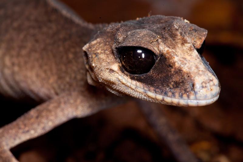 Chameleon gecko, Lake Echam NP, Atherton Tablelands