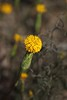 Podotheca pritzeli, Watheroo National Park