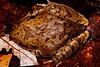 Cogger's barred frog, Paluma NP
