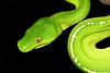 The endemic green python, Iron Range, Cape York