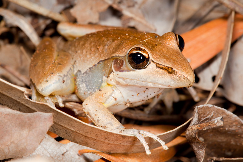 Watjulum frog, Gibb R R