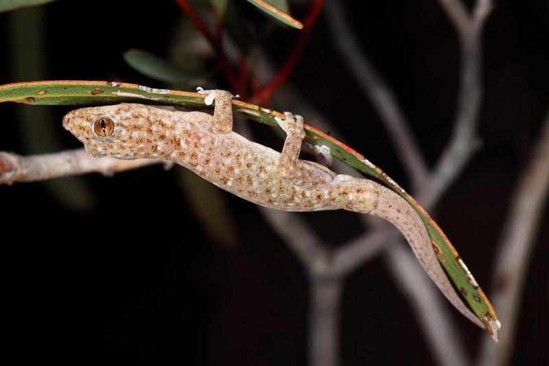 Gecko, Cape Range, Pilbara