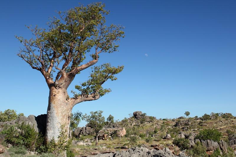 Boab and limestone rockscape, Windjana Gorge area, Gibb River Rd