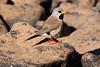 Long-tailed finch, Mornington