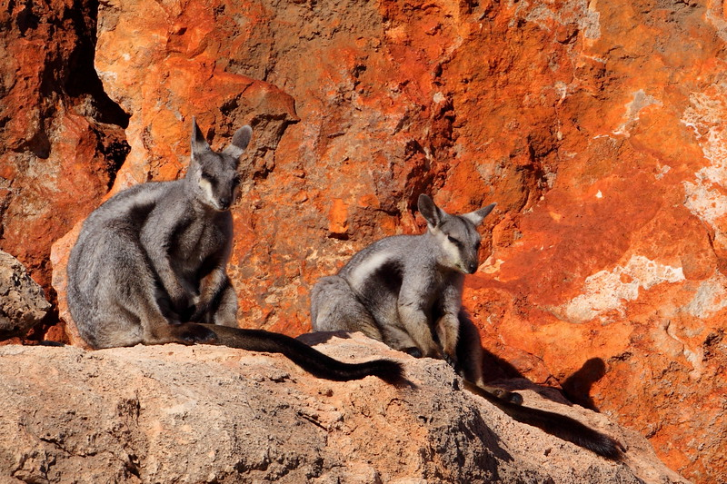 Black-flanked rock wallabies, warming themselves in the morning sunshine. Cape Range NP (not Gibb River, but these were missed out of the Pilbara gallery)
