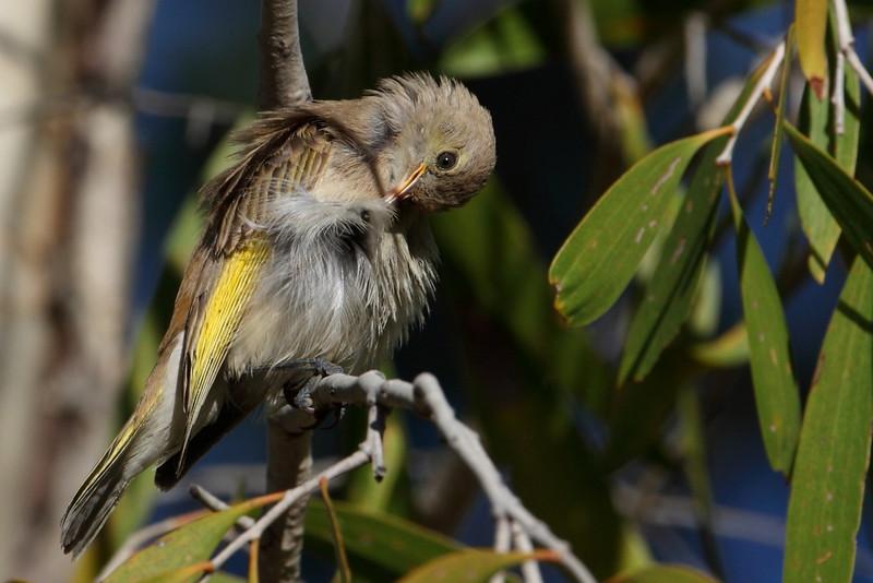 Juvenile rufus throated honeyeater, Duncan