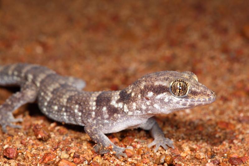Prickly gecko - Heteronotia binoei in Kununurra (a nocturnal lizard)
