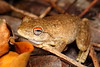 Another lovely native frog, the Northern Laughing Tree frog - Litoria rothii