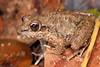 A lovely native frog, Bumpy rocket frog - Litoria inermis