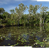 Lily pond, VIEW LARGE for better size, Mitchell Falls NP, Mitchell Plateau