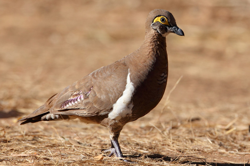 The Kimberley version of the Partrage pigeon, whose numbers are very low due to the fire regime (too frequent) in the region.