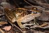 Litoria nasulata, a very fast jumper, Mitchell falls