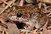 Limnodynastes convexiusculus, a very shy, cute little frog, surveyors pool