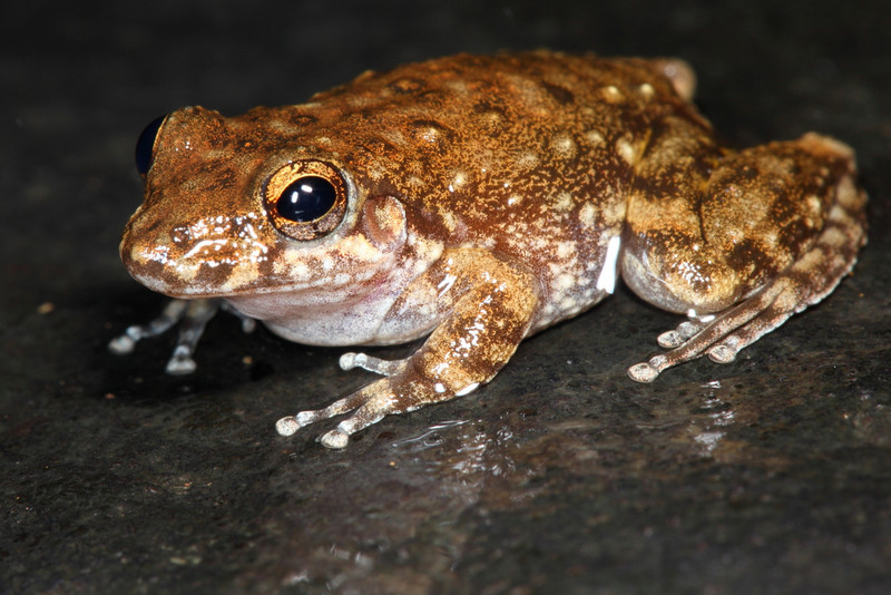 Litoria aurifera, a little frog that sits on the rocks at the top of the waterfalls