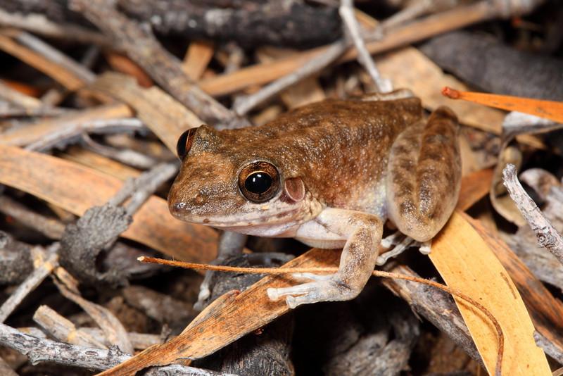 Litoria coplandi, a frog that likes permanent pools