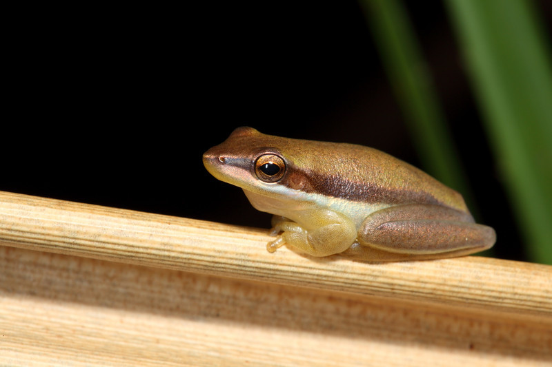 Litoria bicolor, a very small tree frog that likes to sit on the pandanas leaves.