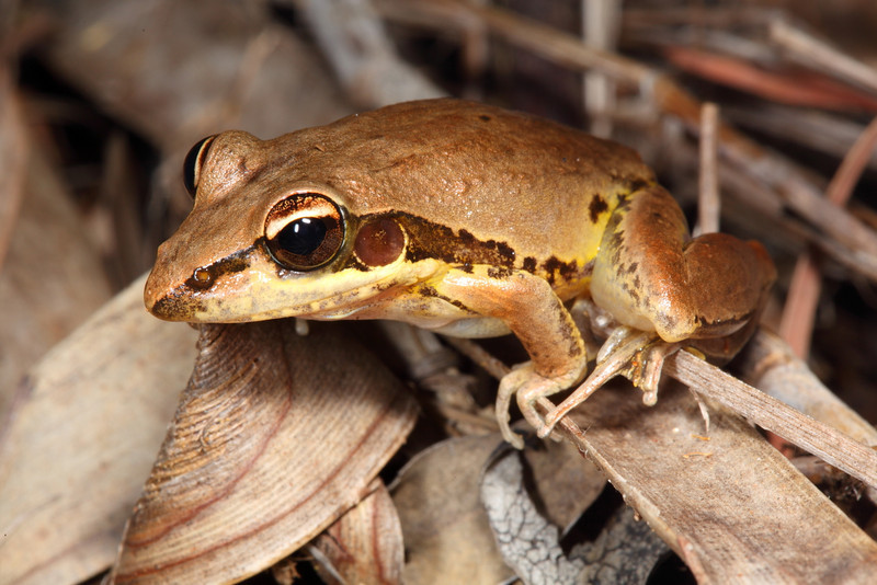 Litoria wotjulumensis, a very common, good jumper in the whole of the top end. This one is yellow because it's calling for mates.