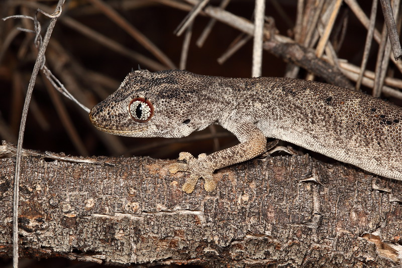 Northern spiny tailed gecko - Strophurus ciliaris, Tanami. It really did look like the dead log it was on, and had extremely beautiful patterns in it's eyes.