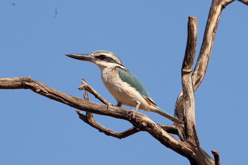 Red rumped kingfisher, Tanami.