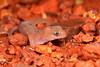Millstream gecko (id tba)